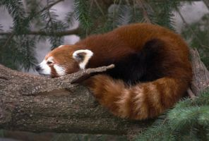 Red Panda by kalany