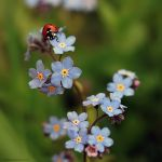 Forget Me Not, Ladybird by Fireflyrock