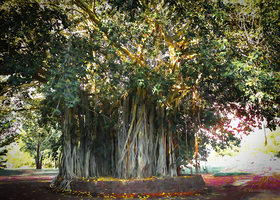 Moreton Bay Fig Tree by vanndra