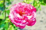 Rosa damascena by forest-goddess