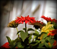 Gerberas Blooming by JocelyneR