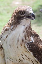 Red-Tailed Hawk by KabakaLion