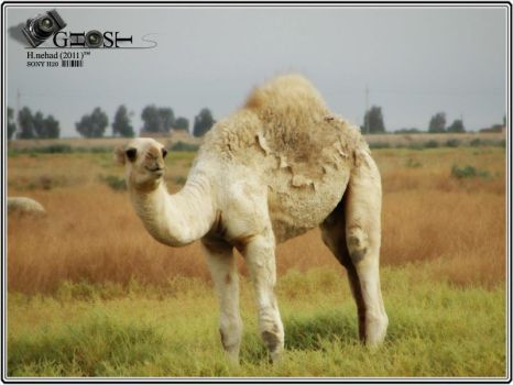 camel by ghost-x89x