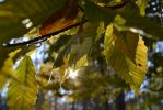 Sun and Leaves by olivia808