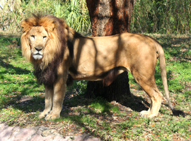 African Male Lion Simon Standing by charfade