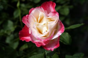 red white rose by fl8us-stock