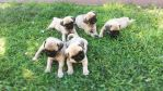 Pug puppies  by Pinkwolfly