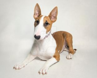 Red Bull Terrier Puppy by Feeferlump