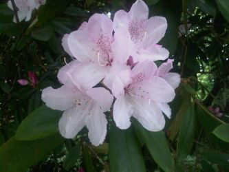 Rhododendron Blossom by moonhare77
