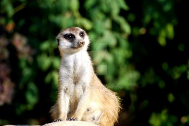 suricate by Charlie-89