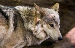 Mexican Wolf Stock: 41 by HOTNStock