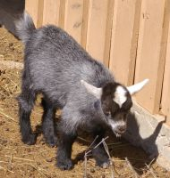 Baby Goat - 4 by OverStocked