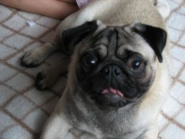 Stock - Fawn Pug 002 by ladykraut