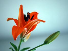 lilly 3 by LucieG-Stock