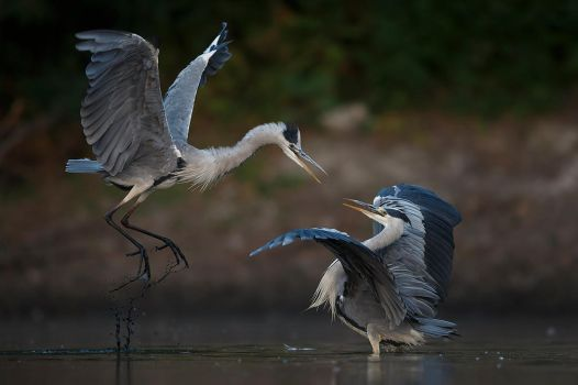 Matrix fight herons by BogdanBoev