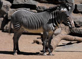 Grevy's Zebra by Photos-By-Michelle