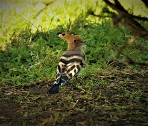 Yet another hoopoe pic by FeatherNerd
