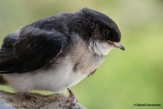 Juvenile blue-and-white swallow by dllavaneras