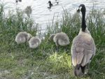 Ducks and Geese 12 by MindlessAngel