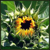 Sunflower Growth by Villa-Chinchilla