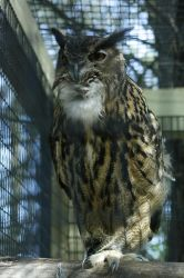 Eagle Owl 3 by CastleGraphics
