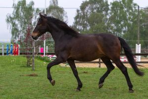 Bay Andalusian Trotting on Meadow by LuDa-Stock