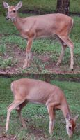 Whitetail Doe by SalsolaStock