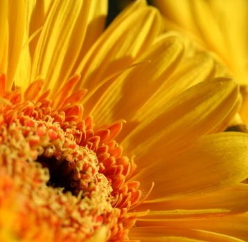 Yellow gerbera by Dromera