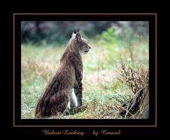 Bobcat Looking by caracal