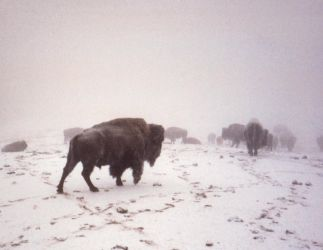 Bison in snow by DavidofArbelaStock