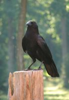 crow stock 3 by InKi-Stock