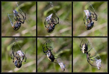 garden spider dinner by photom17