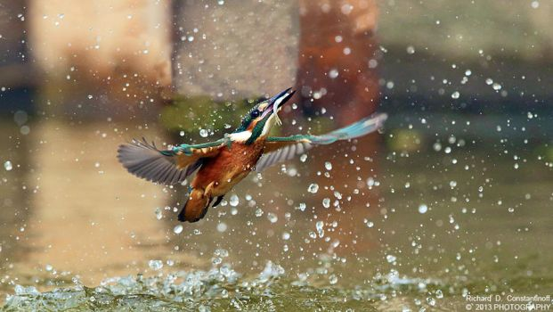 Kingfisher catching a fish by RichardConstantinoff