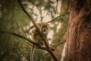 Macaque by maabbus