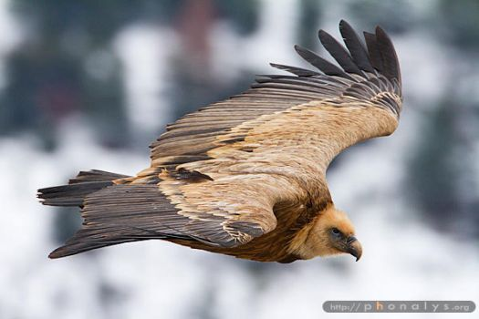 Griffon Vulture by phonalys