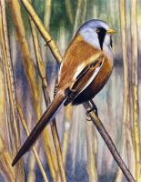 Bearded Tit by WillemSvdMerwe