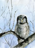 Northern Hawk-Owl by Redilion