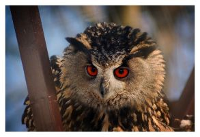 Bubo bubo by KateWalker