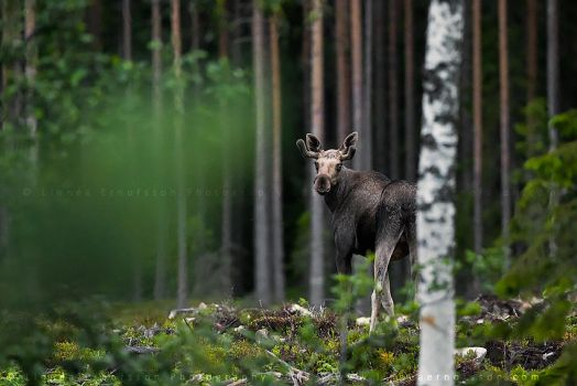Moose by linneaphoto