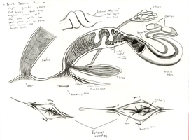 Dolphin Anatomy: Female Reproductive System by Adleisio