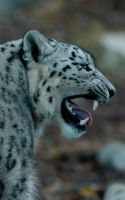 Snow Leopard by shaunthorpe