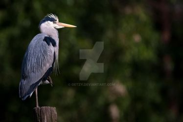 grey heron posing by oetzy