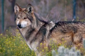 Mexican Gray Wolf III by LynnKitchellStock