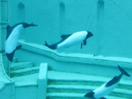 Commerson's Dolphins by Teh-Pandacoon
