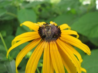 Bug on Black-Eyed Susan by craftywench-nh
