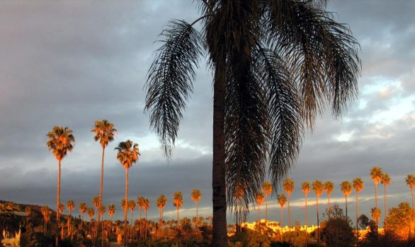 California Palms: 2 of 3 by spyed