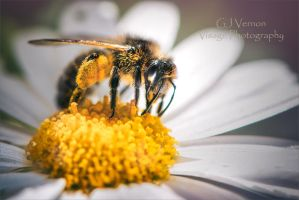 The Bee and the Daisy by GJ-Vernon
