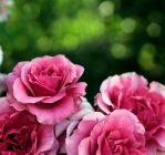 Pink Roses by gold-rose