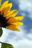 sunflower kiss the sky by Jepetit