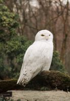 Snowy owl by MetalMouseArt